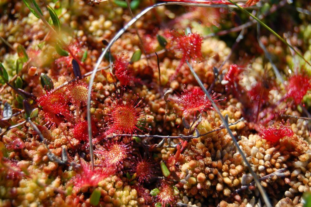 Sundews are common on peat bogs